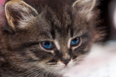 Portrait of a beautiful fluffy kitten Royalty Free Stock Images