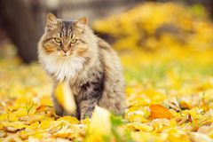 Portrait of a fluffy Siberian cat lying on the fallen yellow foliage, pet walking on nature in the autumn. Portrait of a beautiful fluffy Siberian cat lying on stock photos