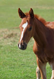 Portrait of beautiful  foal Royalty Free Stock Photos