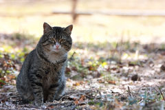 Portrait of a beautiful forest cat. Cat playing on the grass close up Stock Photography