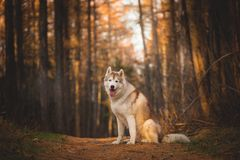 Portrait of beautiful and free Siberian Husky dog sitting in the bright enchanting fall forest. Portrait of beautiful and free Siberian Husky dog sitting in the royalty free stock image