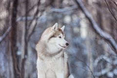 Portrait of beautiful and free siberian Husky dog standing on the snow in the fairy winter forest. Profile Portrait of beautiful, prideful and free siberian royalty free stock image