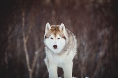 Portrait of beautiful and free siberian Husky dog standing on the snow in the winter forest. Portrait of beautiful, prideful and free siberian Husky dog sitting stock photography