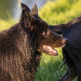 Portrait of a beautiful german shepherd or alsatian dog in the field Royalty Free Stock Images