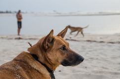 Portrait of beautiful German shepherd dog with collar and person in background at African beach during afternoon stock images