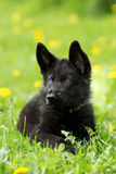Portrait of a beautiful German shepherd puppy of black colour. l stock images