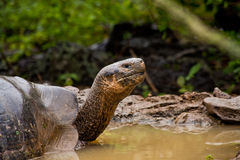 Portrait of beautiful giant tortoise native to the Royalty Free Stock Images
