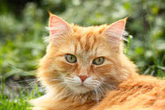 Portrait of a beautiful ginger cat Stock Image