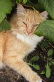 Portrait of a beautiful ginger cat resting under a bush in the g Royalty Free Stock Images