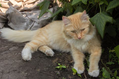 Portrait of a beautiful ginger cat resting under a bush in the g Stock Photos