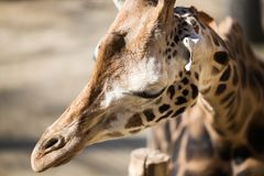 Portrait of beautiful giraffe in nature park. Portrait of beautiful giraffe head in nature park Royalty Free Stock Photography