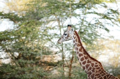Portrait of beautiful Giraffe Stock Images