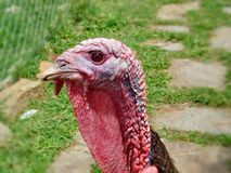 Portrait beautiful gobbler. The Bronze, broad-chested turkey. The earliest name for the turkey is the `Turkish chickens`. Which was assigned to the bird in royalty free stock photography