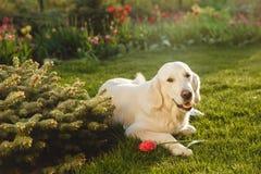 Portrait of a beautiful Golden Retriever dog. Concept beauty, softness, pedigree. Stock Photos