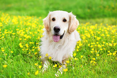 Portrait of beautiful Golden Retriever dog lying on the green. Grass near yellow flowers in sunny summer day Stock Photography