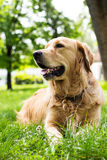 Portrait of beautiful Golden Retriever Royalty Free Stock Photography