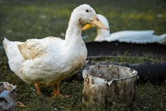 Beautiful goose on a farm royalty free stock photo