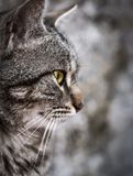 Portrait of beautiful gray cat close up. Cat with yellow eyes.  royalty free stock photo