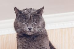Portrait of a beautiful gray cat with eyes closed.  stock photo