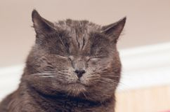 Portrait of a beautiful gray cat with eyes closed.  royalty free stock photography