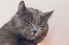 Portrait of a beautiful gray cat with eyes closed.  stock image