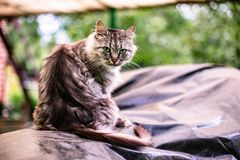 Portrait of a beautiful gray cat with green eyes. In the countryside royalty free stock photos