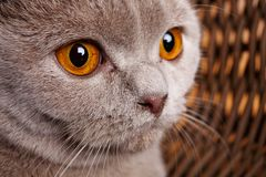 Portrait of gray cat with yellow eyes Scottish Fold Royalty Free Stock Photography
