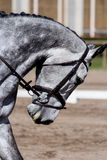 Portrait of beautiful gray horse during show Royalty Free Stock Photography