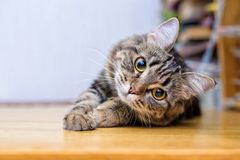 Portrait of a beautiful gray striped cat close up royalty free stock images