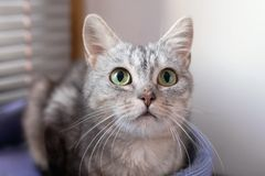 Portrait of beautiful gray tabby cat with green eyes on a cat bed near to a window stock photo