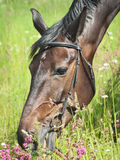 Portrait of beautiful grazing dark mare Royalty Free Stock Images