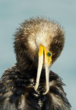 Portrait of a beautiful Great Cormorant Stock Photography