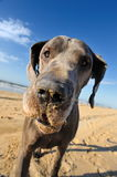 Portrait of a beautiful Great Dane Stock Photo