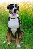 Portrait of a beautiful Greater Swiss Mountain Dog, also known as Swissy stock images