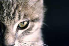 Portrait of a beautiful green eyes cat on a black background Royalty Free Stock Photos