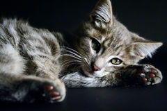 Portrait of a beautiful green eyes cat on a black background Stock Image