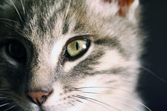 Portrait of a beautiful green eyes cat on a black background Royalty Free Stock Images