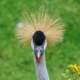 A portrait of a beautiful Grey Crowned Crane royalty free stock photo