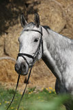 Portrait of beautiful grey horse with bridle Stock Photography