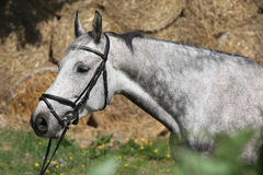 Portrait of beautiful grey horse with bridle Stock Image