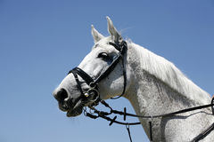 Portrait of a beautiful grey horse during work against blue sky Stock Photography