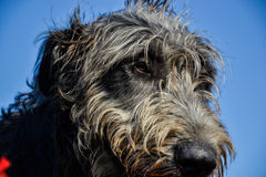 Portrait of beautiful grey Irish wolfhound dog posing in the garden. Close up of happy gray and black dog Royalty Free Stock Photo