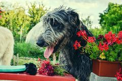 Portrait of beautiful grey Irish wolfhound dog posing in the garden. Close up of happy gray and black dog Royalty Free Stock Images
