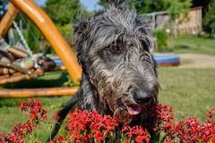 Portrait of beautiful grey Irish wolfhound dog posing in the garden. Happy gray and black dog sitting on grass at spring time Royalty Free Stock Photo