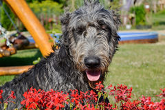 Portrait of beautiful grey Irish wolfhound dog posing in the garden. Happy gray and black dog sitting on grass at spring time Stock Image