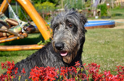 Portrait of beautiful grey Irish wolfhound dog posing in the garden. Happy gray and black dog sitting on grass at spring time Royalty Free Stock Image