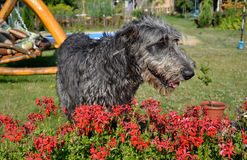 Portrait of beautiful grey Irish wolfhound dog posing in the garden. Happy gray and black dog sitting on grass at spring time Royalty Free Stock Photos