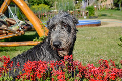 Portrait of beautiful grey Irish wolfhound dog posing in the garden. Happy gray and black dog sitting on grass at spring time Stock Photos