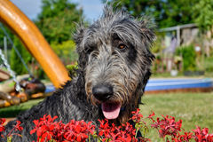 Portrait of beautiful grey Irish wolfhound dog posing in the garden. Happy gray and black dog sitting on grass at spring time Stock Photography