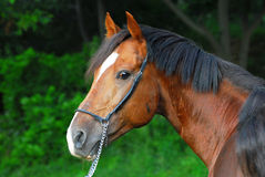 Portrait of a beautiful hack horse Royalty Free Stock Photos
